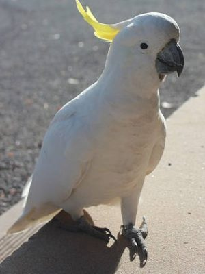 cockatoo-282510_640